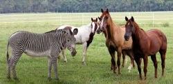 Zebraandhorses